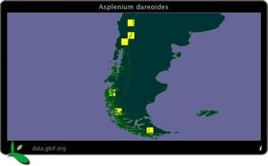 Asplenium Dareoides Dist