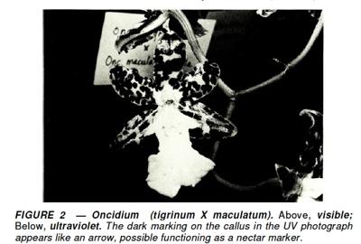 Oncidium Visible