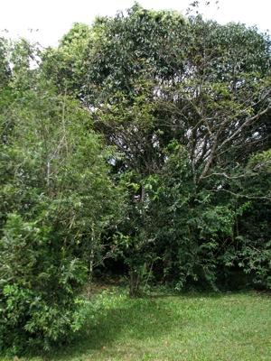 1 Sigua Tree
